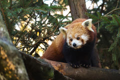 Red panda (Ailurus fulgens) Stock Photography