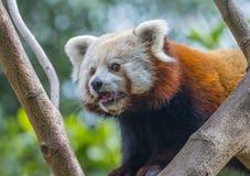 Red panda - Ailurus fulgens Stock Images