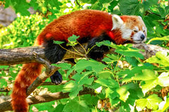 Red panda (Ailurus fulgens). A red panda (firefox) laying on a tree Royalty Free Stock Photography