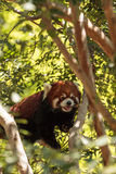 Red panda Ailurus fulgens. Forages for bamboo in a tree is found in the Himalayas and southwestern China Stock Image