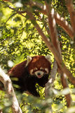 Red panda Ailurus fulgens. Forages for bamboo in a tree is found in the Himalayas and southwestern China Royalty Free Stock Photo
