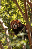 Red panda Ailurus fulgens. Forages for bamboo in a tree is found in the Himalayas and southwestern China Stock Photo