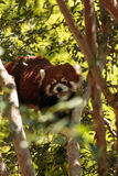 Red panda Ailurus fulgens. Forages for bamboo in a tree is found in the Himalayas and southwestern China Royalty Free Stock Images