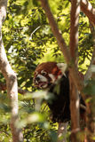 Red panda Ailurus fulgens. Forages for bamboo in a tree is found in the Himalayas and southwestern China Royalty Free Stock Image