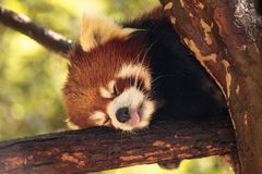 Red panda Ailurus fulgens forages. For bamboo in a tree is found in the Himalayas and southwestern China Royalty Free Stock Photography