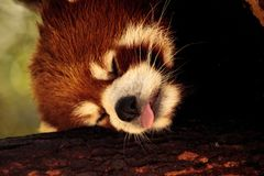 Red panda Ailurus fulgens forages. For bamboo in a tree is found in the Himalayas and southwestern China Royalty Free Stock Image