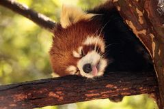 Red panda Ailurus fulgens forages. For bamboo in a tree is found in the Himalayas and southwestern China Stock Images