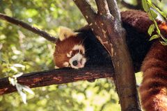 Red panda Ailurus fulgens forages. For bamboo in a tree is found in the Himalayas and southwestern China Stock Image