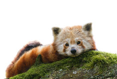 Red Panda Ailurus fulgens  isolated Stock Image