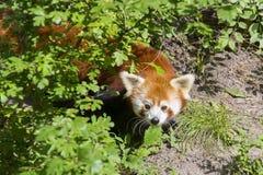 Red panda (Ailurus fulgens) royalty free stock image