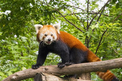 Red panda (Ailurus fulgens) Stock Images