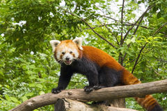 Red panda (Ailurus fulgens) Stock Photos