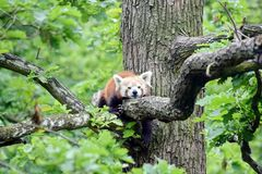 Red Panda Ailurus Fulgens Lying on Branch royalty free stock photo