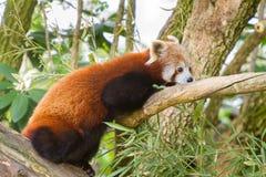 Red Panda (Ailurus fulgens) Stock Images
