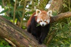 Red Panda (Ailurus fulgens) Stock Photo