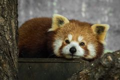 Red panda, Ailurus fulgens, resting inside. In the zoo in winter. Dyreparken Zoo in Kristiansand, Norway Royalty Free Stock Photos
