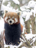Red panda, Ailurus fulgens, reveling in the snow Royalty Free Stock Images