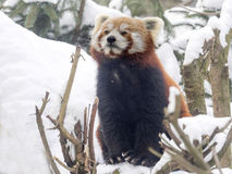 Red panda, Ailurus fulgens, reveling in the snow. One Red panda, Ailurus fulgens, reveling in the snow Royalty Free Stock Photos