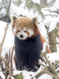 Red panda, Ailurus fulgens, reveling in the snow Stock Images