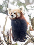 Red panda, Ailurus fulgens, reveling in the snow Royalty Free Stock Photo