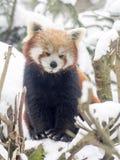 Red panda, Ailurus fulgens, reveling in the snow Stock Image