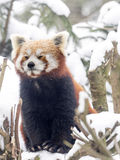 Red panda, Ailurus fulgens, reveling in the snow Royalty Free Stock Photography
