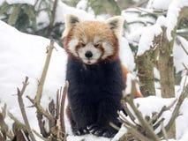 Red panda, Ailurus fulgens, reveling in the snow Royalty Free Stock Photos