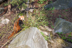 Red panda, Ailurus fulgens Royalty Free Stock Photo