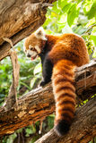 Red Panda (Ailurus fulgens) Sitting in a Tree Royalty Free Stock Photo