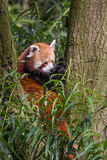 Red panda Ailurus fulgens sitting in tree. Red panda Ailurus fulgens, lesser panda sitting in tree Stock Photography