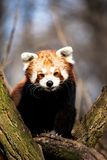 Red Panda (Ailurus fulgens)   Royalty Free Stock Photo