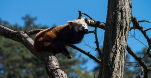 Red panda or ailurus fulgens. On the tree Stock Image