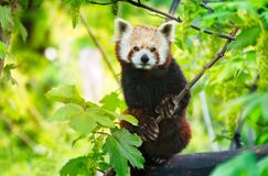 Red panda Ailurus fulgens in a tree looking at the camera. Red panda -  Ailurus fulgens  - sit in a tree and look at the camera Stock Images