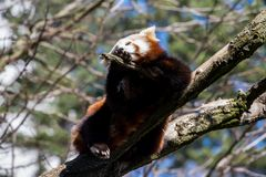 Red panda or ailurus fulgens. On the tree Royalty Free Stock Photo