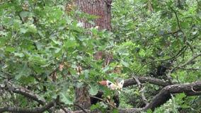 Red panda Ailurus fulgens. On a tree stock footage