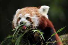 Red panda (Ailurus fulgens). Royalty Free Stock Photos