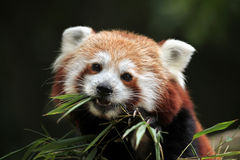 Red panda (Ailurus fulgens). Royalty Free Stock Images