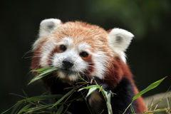 Red panda (Ailurus fulgens). Royalty Free Stock Image