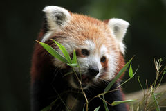 Red panda (Ailurus fulgens). Stock Images