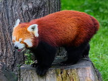Red panda ( Ailurus fulgens) Stock Photo
