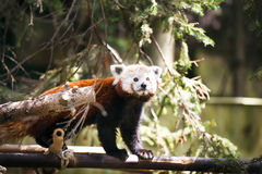 Red panda. Ailurus fulgens. Stock Photos