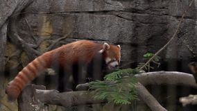 Red Panda Ailurus fulgens in Zoo Behind Cage Bars. Animal Violence. Endangered Species of Asia