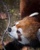 Red panda or lesser panda smelling a twig. Close up shot. royalty free stock images