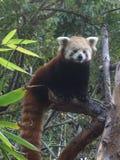 Red panda. Animal in tree Stock Image