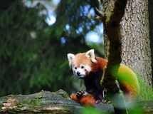 Red Panda Animal Zoo Slovenia royalty free stock image
