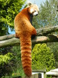 Red panda. Asian red panda on a tree Stock Photography