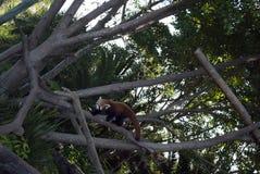 Red panda at australia zoo Royalty Free Stock Photo