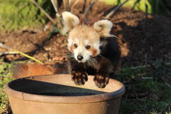 Red Panda. A baby red panda drinking water from a bowl Royalty Free Stock Photos