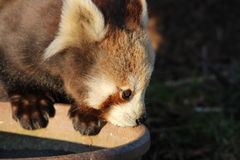 Red Panda. A baby red panda drinking water from a bowl Stock Photos