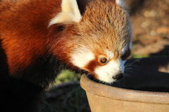 Red Panda. A baby red panda drinking water from a bowl Stock Image